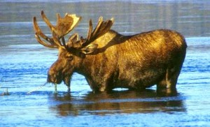 Large Moose Wading in Lake