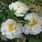 Peony cluster