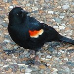 The Redwing Blackbird